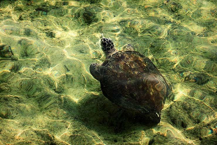 لاک پشت جزیره هندورابی